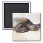 Mydas del Chelonia de la tortuga de mar verde) en  Imán Cuadrado