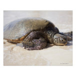 Mydas del Chelonia de la tortuga de mar verde) en  Póster