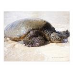 Mydas del Chelonia de la tortuga de mar verde) en  Tarjeta Postal