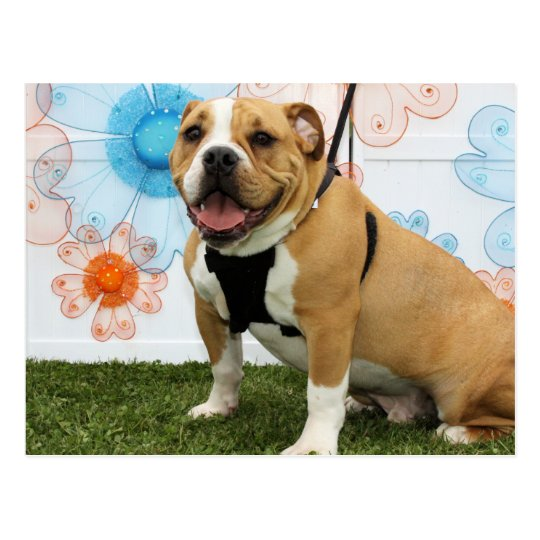 Mylo - English Bulldog Postcard