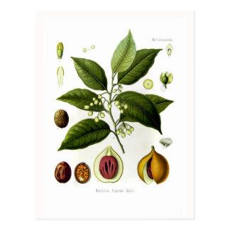 Myristica fragrans (nutmeg) postcard