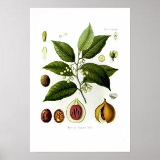 Myristica fragrans (nutmeg) poster