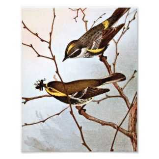 Myrtle and Blackthroated Warblers Photographic Print