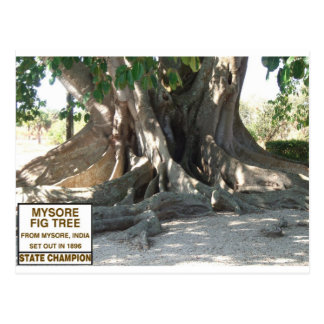 Mysore Fig Tree With Sign Postcard