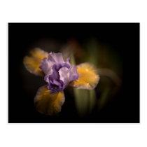 Mysterious Iris Postcard