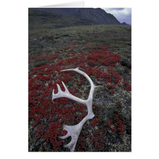 N.A., los E.E.U.U., Alaska, asta del caribú de A.N Tarjeta De Felicitación