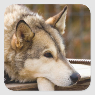N A los E E U U Alaska Perros de trineo forni Pegatinas Cuadradas Personalizadas