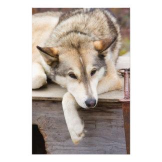 N A los E E U U Alaska Perros de trineo forni Fotografia