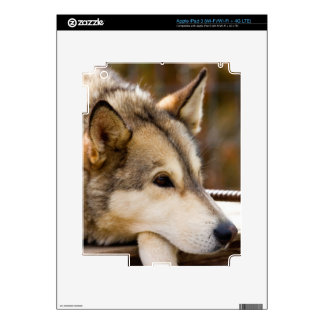 N.A., los E.E.U.U., Alaska. Perros de trineo iPad 3 Pegatinas Skins