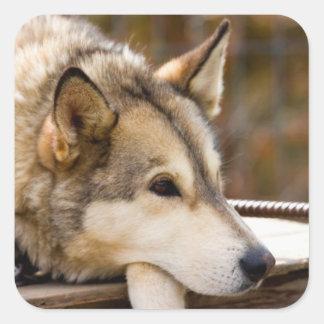 N.A., los E.E.U.U., Alaska. Perros de trineo Pegatinas Cuadradas Personalizadas