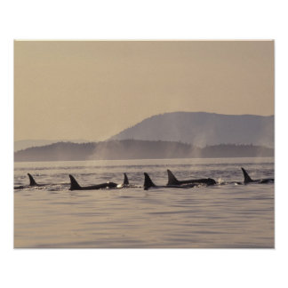 N.A., orca de los E.E.U.U., Washington, islas de S Póster