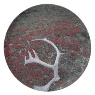 N.A., USA, Alaska, A.N.W.R. Caribou antler lies Dinner Plate