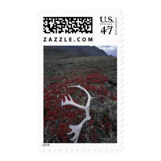 N.A., USA, Alaska, A.N.W.R. Caribou antler lies Postage