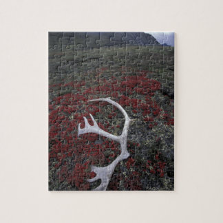 N.A., USA, Alaska, A.N.W.R. Caribou antler lies Puzzle