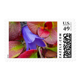 N.A., USA, Alaska.  Bluebell in the tundra in Postage