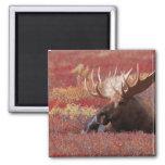 N.A., USA, Alaska, Denali National Park, Bull 2 Inch Square Magnet