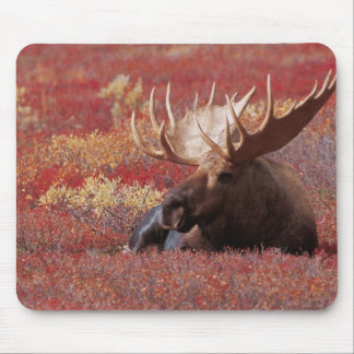 N.A., USA, Alaska, Denali National Park, Bull Mouse Pad