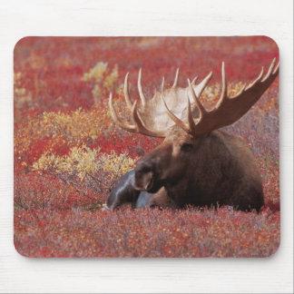 N.A., USA, Alaska, Denali National Park, Bull Mouse Pad