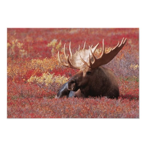 N.A., USA, Alaska, Denali National Park, Bull Photo Print