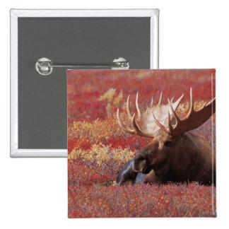 N.A., USA, Alaska, Denali National Park, Bull Pinback Button