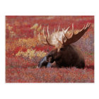 N.A., USA, Alaska, Denali National Park, Bull Postcard