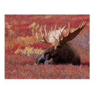 N.A., USA, Alaska, Denali National Park, Bull Post Card