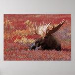 N.A., USA, Alaska, Denali National Park, Bull Poster