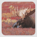N.A., USA, Alaska, Denali National Park, Bull Square Sticker