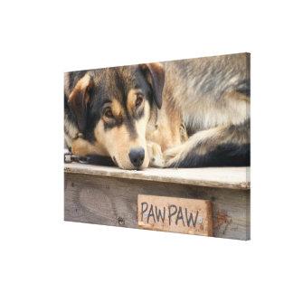 N.A., USA, Alaska. Husky sled dogs at 2 Canvas Print