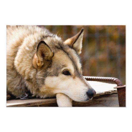 N.A., USA, Alaska. Husky sled dogs at 2 Photo Print