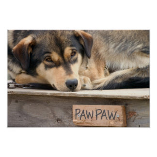 N.A., USA, Alaska. Husky sled dogs at 2 Poster