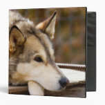 N.A., USA, Alaska. Husky sled dogs at 3 Binder