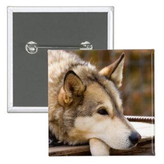 N A USA Alaska Husky sled dogs at 3 Pins