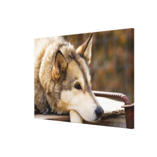 N.A., USA, Alaska. Husky sled dogs at 3 Canvas Print