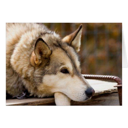 N.A., USA, Alaska. Husky sled dogs at 3 Card