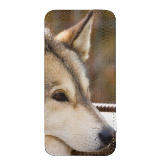 N.A., USA, Alaska. Husky sled dogs at 3