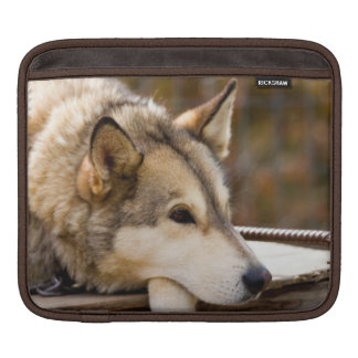 N.A., USA, Alaska. Husky sled dogs at 3 Sleeve For iPads