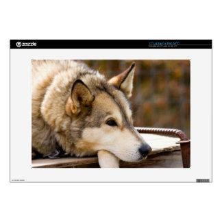 N.A., USA, Alaska. Husky sled dogs at 3 Laptop Skin