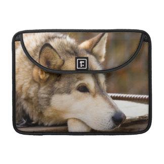 N.A., USA, Alaska. Husky sled dogs at 3 MacBook Pro Sleeve