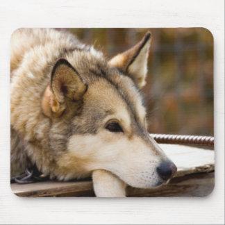 N.A., USA, Alaska. Husky sled dogs at 3 Mouse Pad