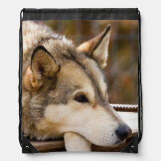 N.A., USA, Alaska. Husky sled dogs at 3 Backpacks