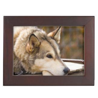 N.A., USA, Alaska. Husky sled dogs at 3 Memory Boxes