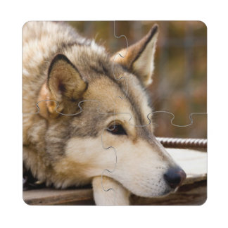 N.A., USA, Alaska. Husky sled dogs at 3 Puzzle Coaster