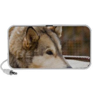 N.A., USA, Alaska. Husky sled dogs at 3 PC Speakers