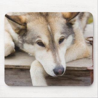 N.A., USA, Alaska. Husky sled dogs at Mouse Pad