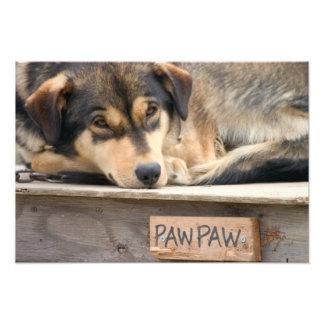 N.A., USA, Alaska. Husky sled dogs at Photo Print