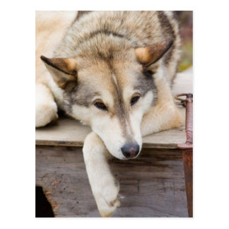 N.A., USA, Alaska. Husky sled dogs at Postcard