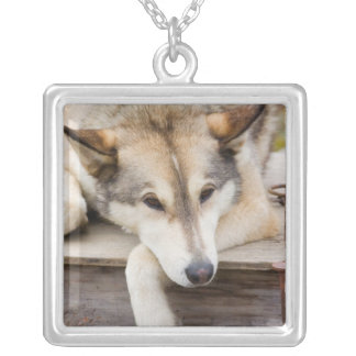 N.A., USA, Alaska. Husky sled dogs at Silver Plated Necklace