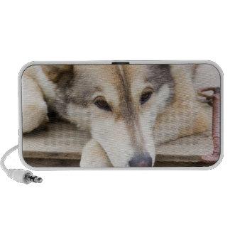 N.A., USA, Alaska. Husky sled dogs at Travel Speaker