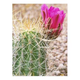 N.A., USA, AZ, Phoenix, Desert Botanical Postcard